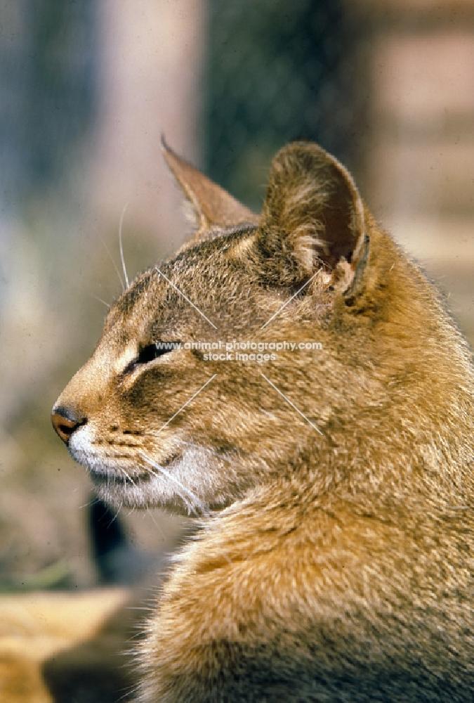 ch taishun leo, abyssinian cat, head study in profile
