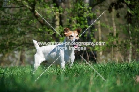 Jack Russell Terrier standing on grass