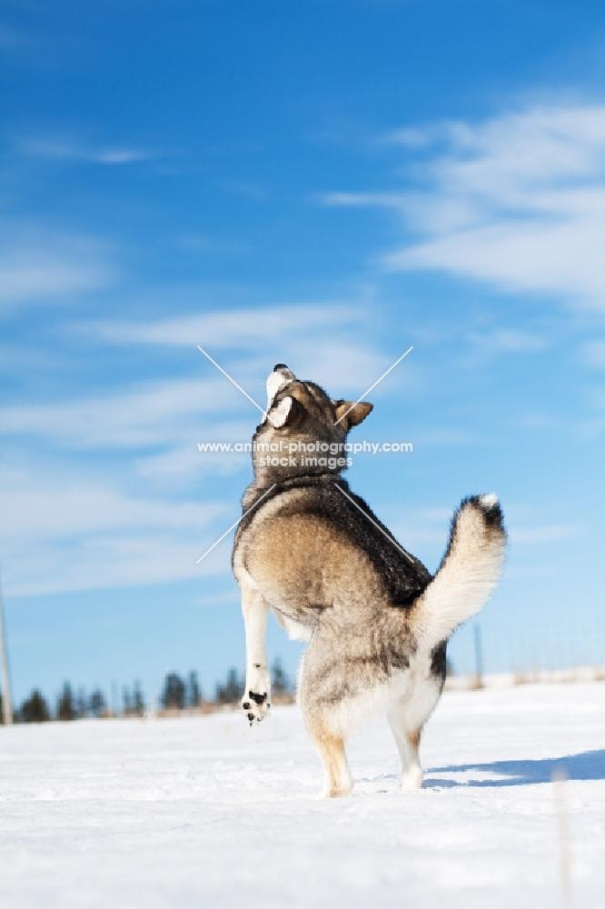 Husky rearing in field