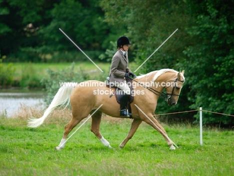 Palomino trotting with rider