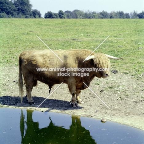 highland bull standing near water, whipsnade