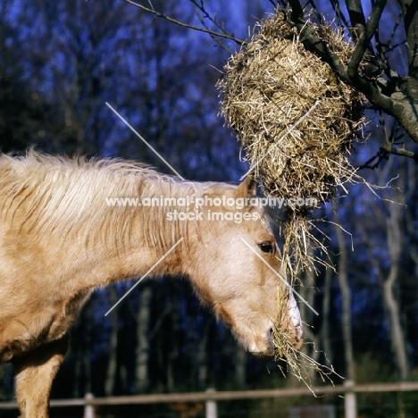palomino pony eating hay from haynet in tree in winter