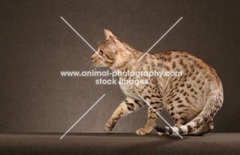 Ocicat on brown background