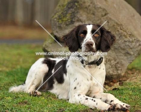 German Spaniel (aka Deutscher Wachtelhund) near rock