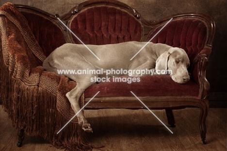 Weimaraner lying on sofa