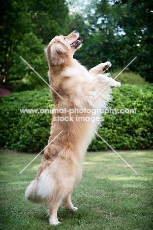 golden retriever standing on back legs