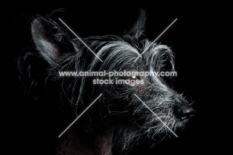 chinese crested dog, profile headshot