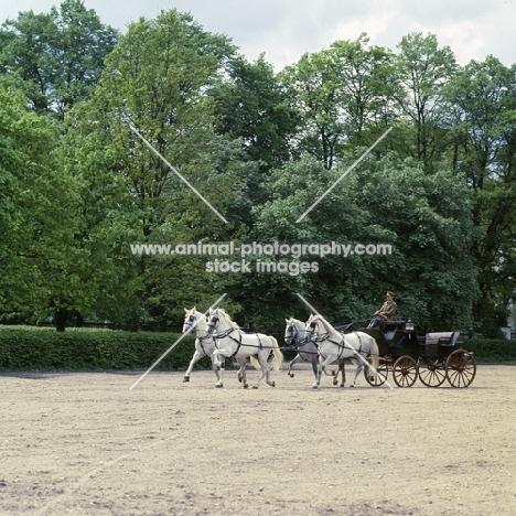 four kladruber horses in harness