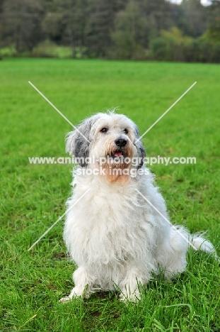 Polish Lowland Sheepdog sitting in field