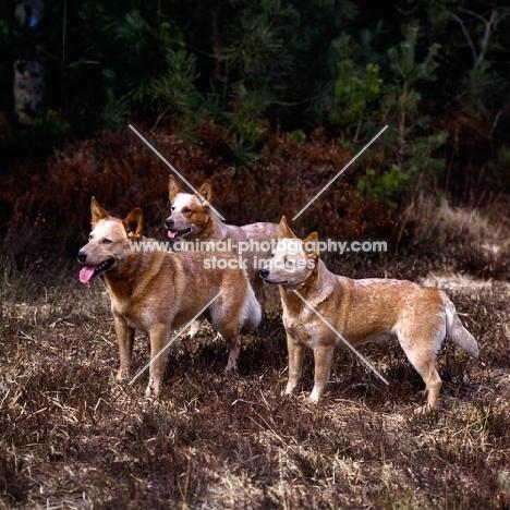 formakin kulta, formakin brolga & another formakin, three australian cattle dogs