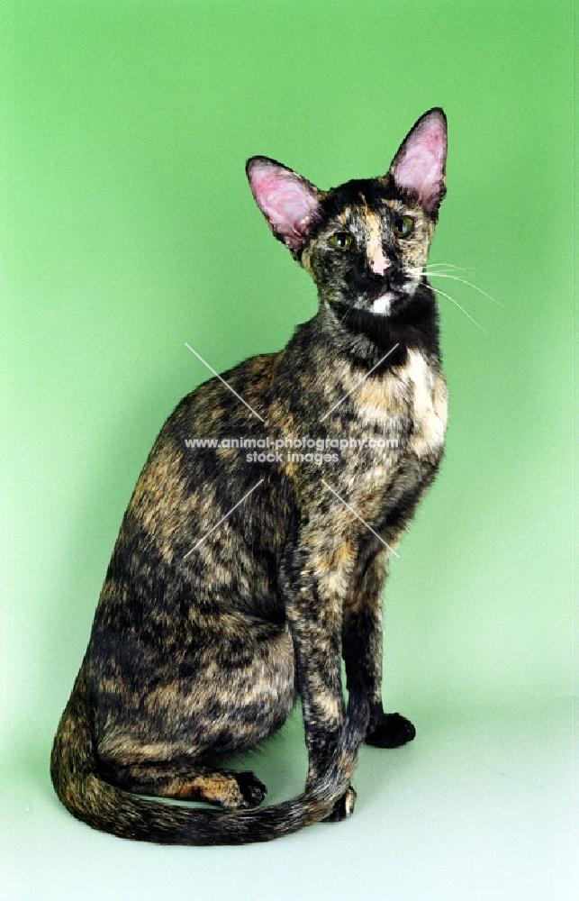 tortie Oriental Shorthair cat sitting on green background