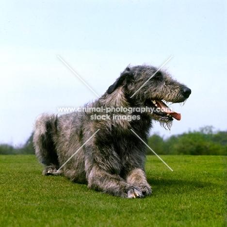irish wolfhound lying on grass