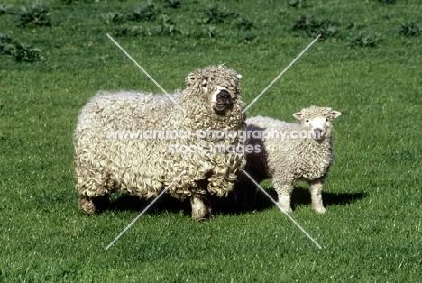 grey face dartmoor ewe and lamb