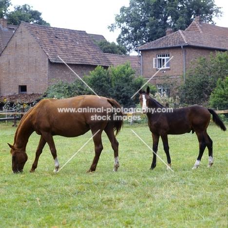 hanoverian mare with foal, wilka