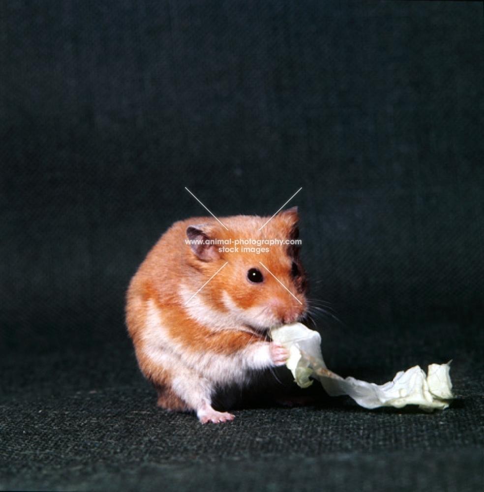 cinnamon golden hamster eating lettuce