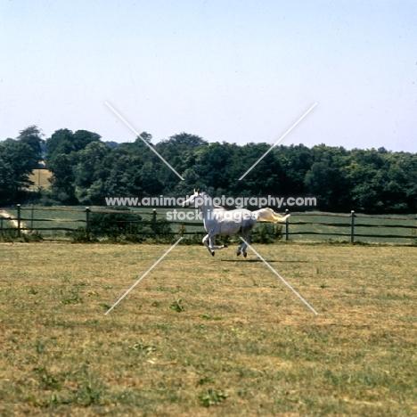 Arab UK mare cantering through field