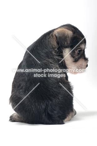 Miniature Schnauzer puppy, back view