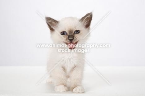 Birman kitten, meowing