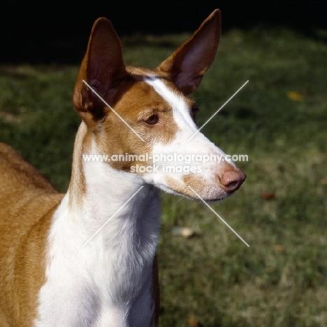 champion ibizan hound portrait