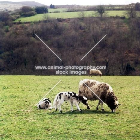 jacob sheep with lambs