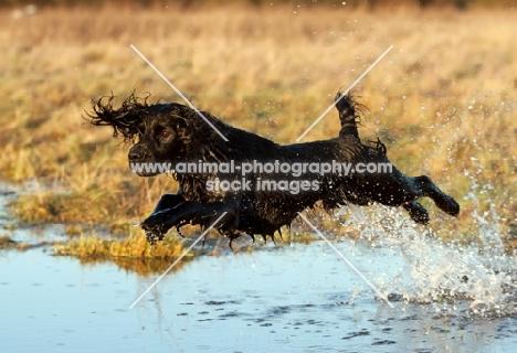 black english springer spaniel