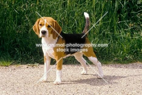 beagle standard photo