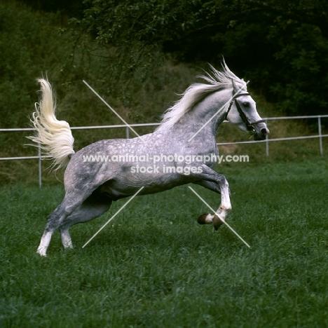 German Arab stallion leaping at marbach,