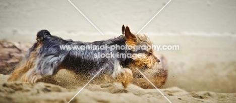 Yorkshire Terrier running on beach