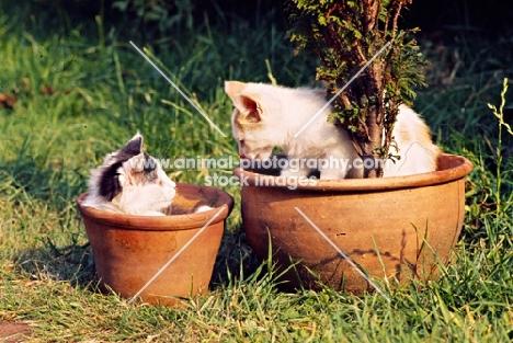 two farm kittens in flower pots