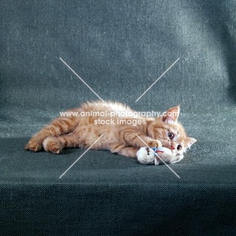red tabby long hair kitten playing
