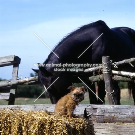 undocked griffon puppy & horse