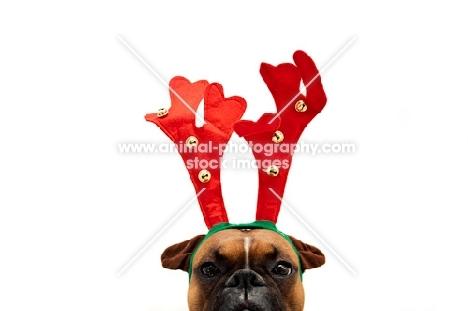 boxer wearing reindeer antlers
