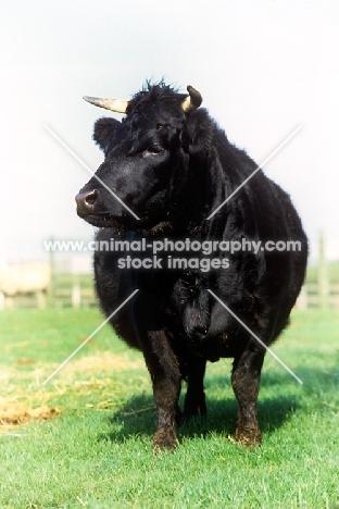 dexter cow front view