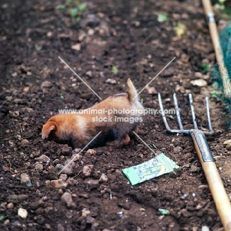 norfolk terrier puppy digging in soil
