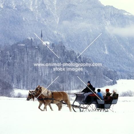 Two Haflingers, horse drawn sleigh ride near Ebbs, Tirol Austria