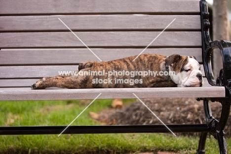 Bulldog puppy feeling tired