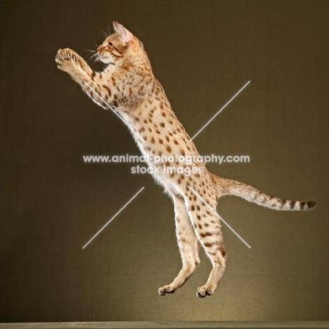 Ocicat jumping
