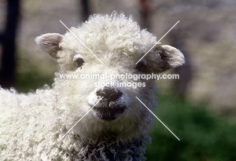 grey face dartmoor lamb, portrait