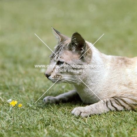 ch reoky cheetah, siamese tabby point (chocolate) cat