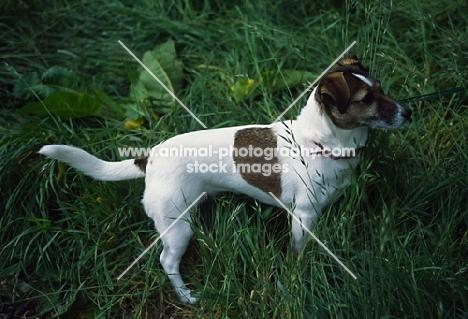 undocked jack russell terrier in long grass