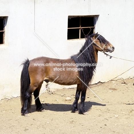 skyros pony stallion on skyros island, greece