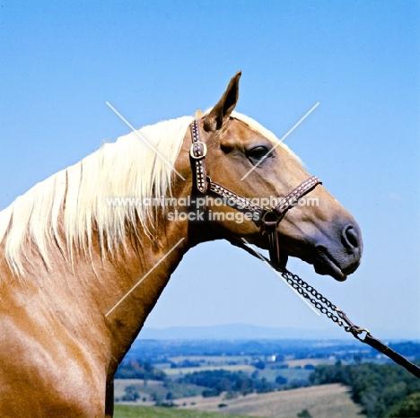 goldie, palomino stallion in usa