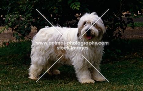side view of polish lowland sheepdog