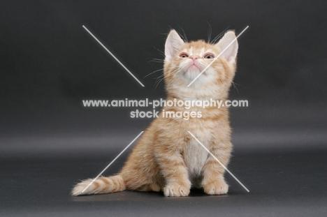 Red Mackerel Tabby Munchkin kitten
