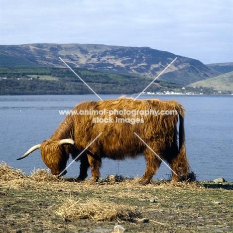 highland cattle on eriskay island