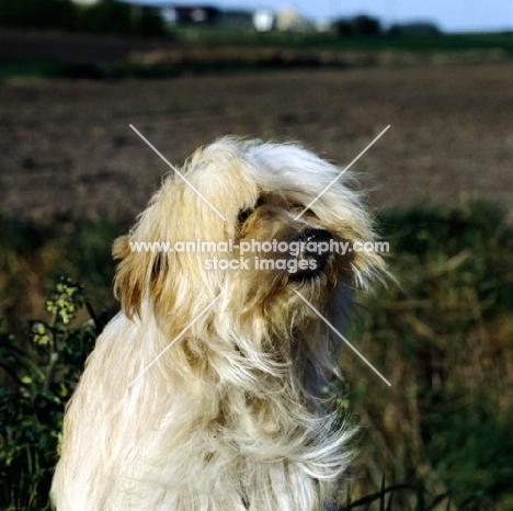 tibetan terrier in wind