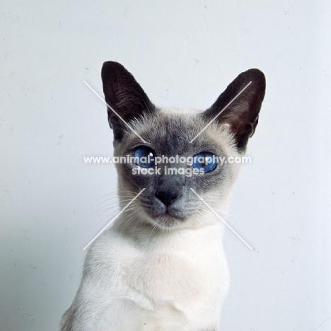 int ch selina van siana, blue point siamese cat
