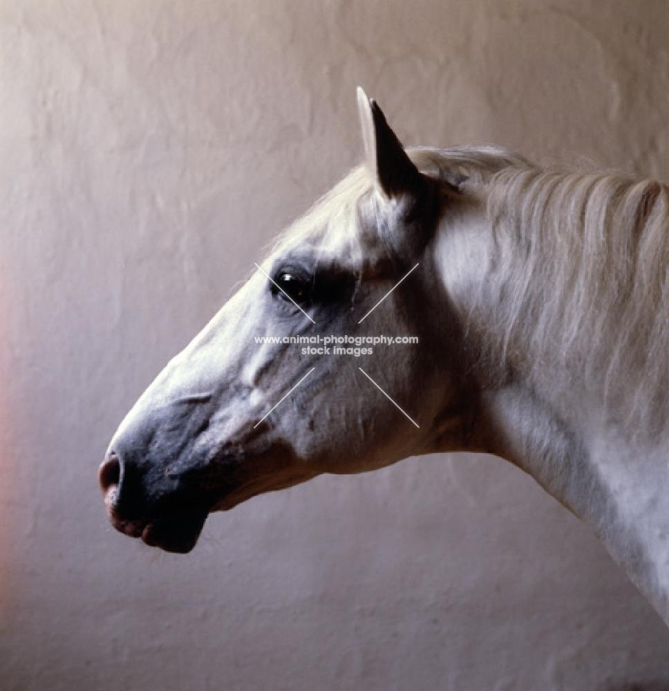 Pluto Alda, portrait of a Lipizzaner stallion in his loose box at piber