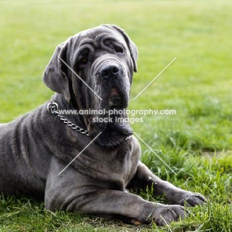 neapolitan mastiff lying on grass