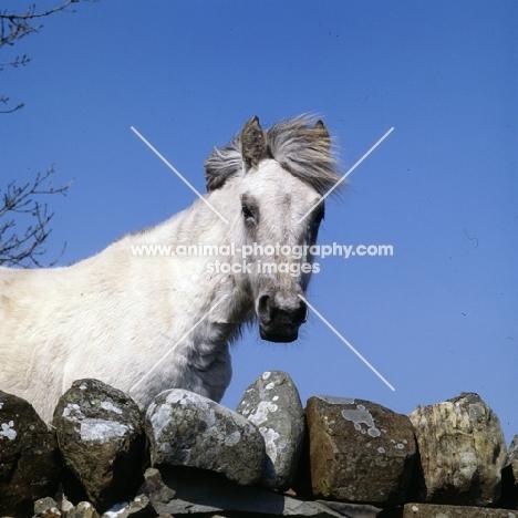 Eriskay Pony mare looking over a stone wall